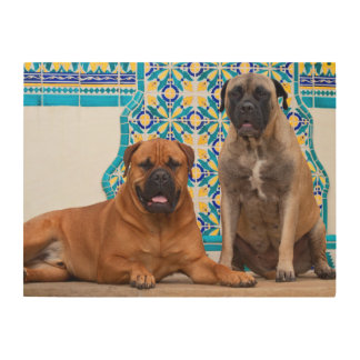 USA, California. Two Mastiffs Looking At You Wood Print