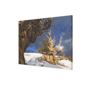 USA, California, White Mountains. Ancient Canvas Print