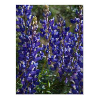 USA, California. Wildflower Bloom Close Up Poster