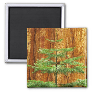 USA, California, Yosemite National Park. Young Square Magnet