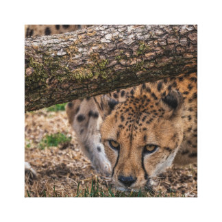 USA, Cincinnati, Ohio. Cheetah (captive) Canvas Print
