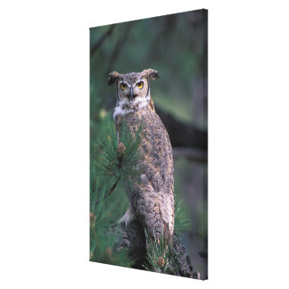 USA, CO, Colorado Springs. Great Horned Owl in Canvas Print