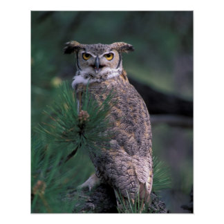 USA, CO, Colorado Springs. Great Horned Owl in Poster