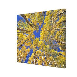 USA, Colorado, Aspen area. Aspen forest in fall Canvas Print