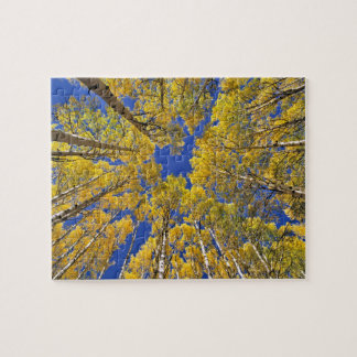 USA, Colorado, Aspen area. Aspen forest in fall Jigsaw Puzzle