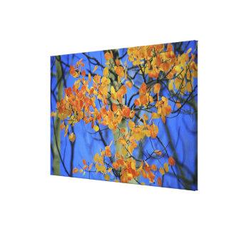 USA, Colorado. Aspen leaves that have taken Canvas Print