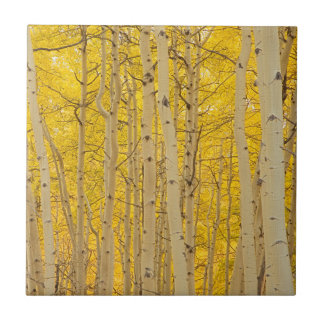 USA, Colorado. Aspens In Gunnison National Tile