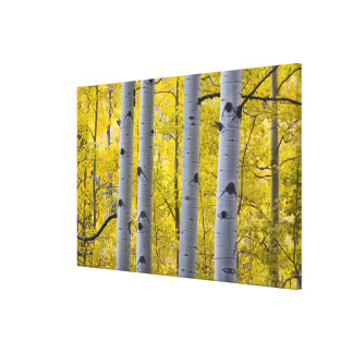 USA, Colorado, Autumn Aspen Stand Near Yankee Canvas Print