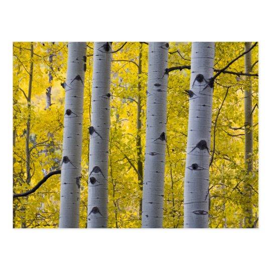 USA, Colorado, Autumn Aspen Stand Near Yankee Postcard