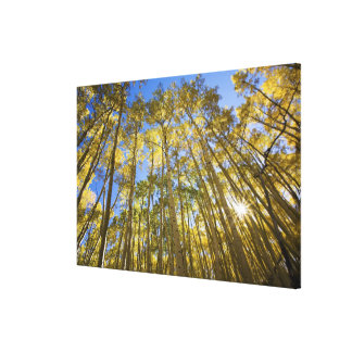 USA, Colorado, Autumn Aspens Along the Last Canvas Print