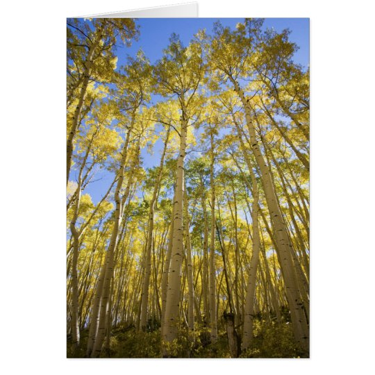 USA, Colorado, Autumn Aspens Along the Last Card