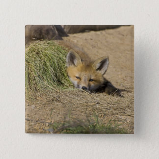 USA, Colorado, Breckenridge. Alert red fox 15 Cm Square Badge