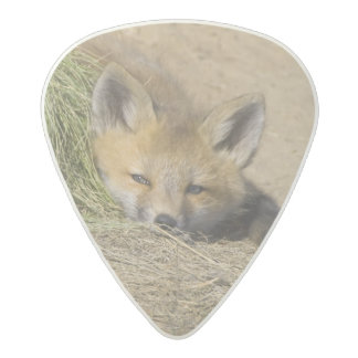 USA, Colorado, Breckenridge. Alert red fox Acetal Guitar Pick