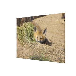 USA, Colorado, Breckenridge. Alert red fox Canvas Print