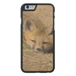 USA, Colorado, Breckenridge. Alert red fox Carved Maple iPhone 6 Case