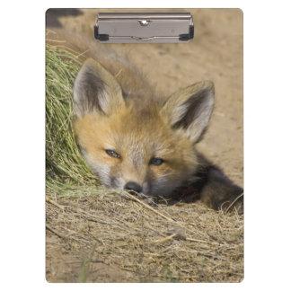 USA, Colorado, Breckenridge. Alert red fox Clipboard