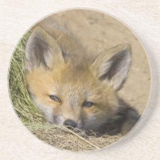 USA, Colorado, Breckenridge. Alert red fox Coaster