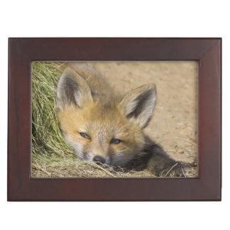 USA, Colorado, Breckenridge. Alert red fox Keepsake Box