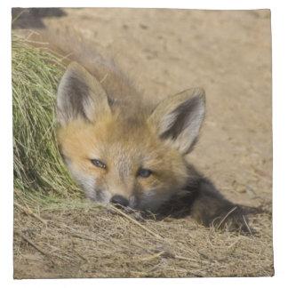 USA, Colorado, Breckenridge. Alert red fox Napkin