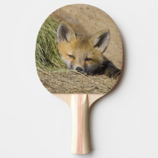 USA, Colorado, Breckenridge. Alert red fox Ping Pong Paddle