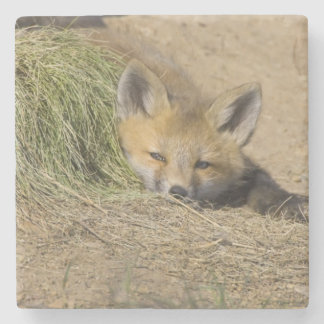 USA, Colorado, Breckenridge. Alert red fox Stone Coaster