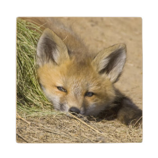 USA, Colorado, Breckenridge. Alert red fox Wood Coaster