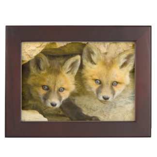 USA, Colorado, Breckenridge. Curious red fox Keepsake Box