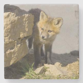 USA, Colorado, Breckenridge. Curious young red Stone Coaster