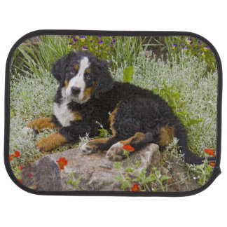 USA, Colorado, Breckenridge. Female Bernese Car Mat