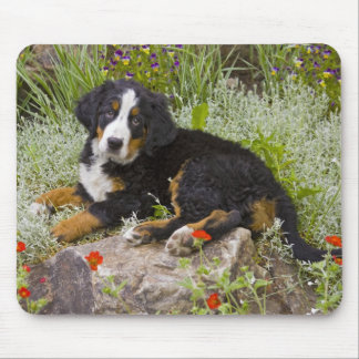 USA, Colorado, Breckenridge. Female Bernese Mouse Mat