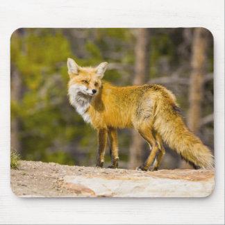 USA, Colorado, Breckenridge. Portrait of red fox Mouse Mat