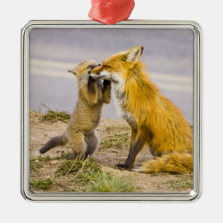 USA, Colorado, Breckenridge. Red fox mother 2 Christmas Ornament