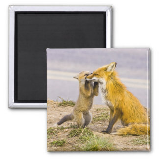 USA, Colorado, Breckenridge. Red fox mother 2 Magnet