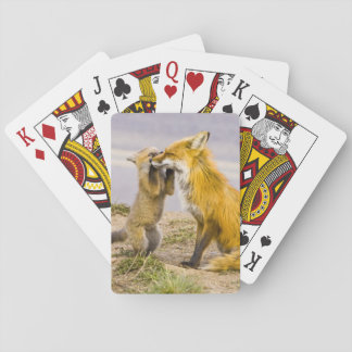 USA, Colorado, Breckenridge. Red fox mother 2 Playing Cards