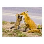 USA, Colorado, Breckenridge. Red fox mother 2 Postcard