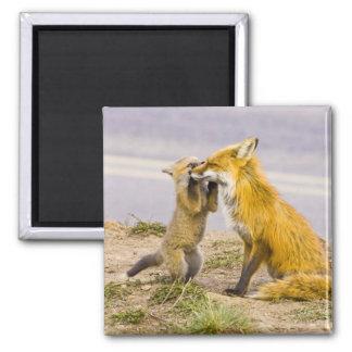 USA, Colorado, Breckenridge. Red fox mother 2 Square Magnet