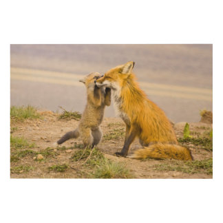 USA, Colorado, Breckenridge. Red fox mother 2 Wood Wall Art