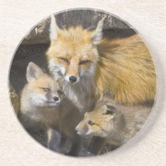 USA, Colorado, Breckenridge. Red fox mother 4 Coaster