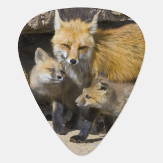 USA, Colorado, Breckenridge. Red fox mother 4 Plectrum