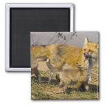 USA, Colorado, Breckenridge. Red fox mother Fridge Magnets
