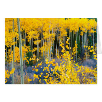 USA, Colorado. Bright Yellow Aspens In Rockies 2 Card