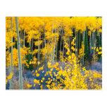 USA, Colorado. Bright Yellow Aspens In Rockies 2 Postcard