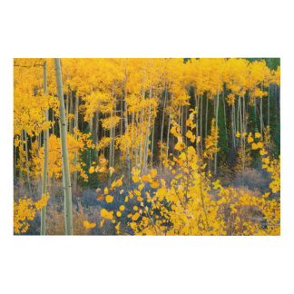 USA, Colorado. Bright Yellow Aspens In Rockies 2 Wood Canvases