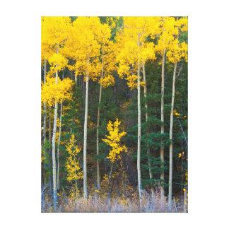 USA, Colorado. Bright Yellow Aspens In Rockies Canvas Print