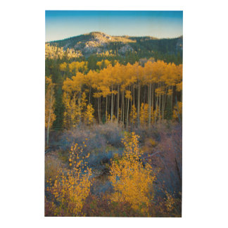 USA, Colorado. Bright Yellow Aspens in Rockies Wood Wall Decor