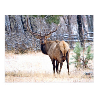 USA, Colorado, Bull Elk Looking Back Postcard