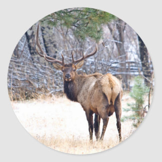 USA, Colorado, Bull Elk Looking Back Round Sticker