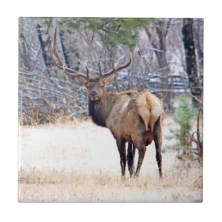 USA, Colorado, Bull Elk Looking Back Small Square Tile