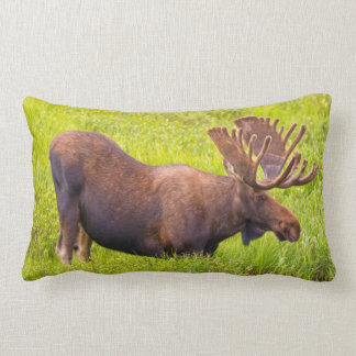 USA, Colorado, Cameron Pass. Bull Moose Lumbar Cushion