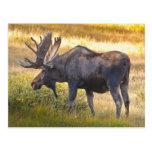 USA, Colorado, Cameron Pass. Bull moose with Postcard